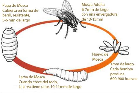 ciclo_vida_moscas.jpg